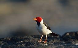 Желт-представленный счет кардинал Стоковые Фотографии RF