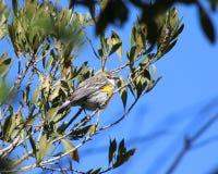 Желт-протертая певчая птица Стоковое Фото