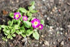 Желт-фиолетовый первоцвет Стоковые Фото