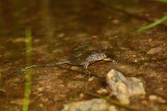 Желт-bellied variegata bombina жабы Стоковые Изображения RF