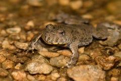 Желт-bellied variegata bombina жабы Стоковое фото RF