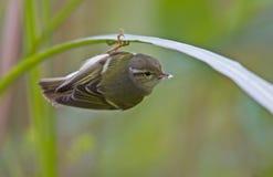 Желт-browed птицы певчей птицы Стоковая Фотография