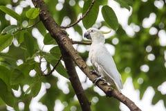 Желт-crested какаду (sulphurea Cacatua) садясь на насест на дереве Стоковые Изображения