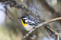 Желт-throated певчая птица (Setophaga Доминика) Стоковое Изображение RF