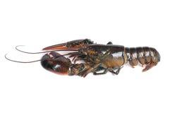 живая белизна омара предпосылки Стоковое Изображение RF