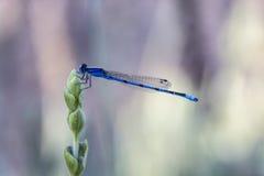 Живая голубая красотка на лаванде Стоковые Фотографии RF