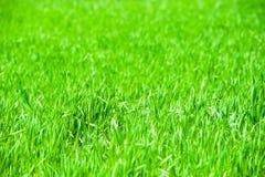 Живая зеленая трава Стоковое Фото
