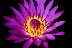 Живая лилия Стоковое Изображение RF