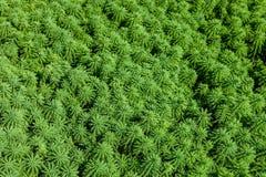 Живая предпосылка зеленой травы текстурированная Стоковая Фотография