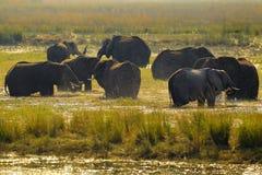живая природа Африки Африканский слон в зеленой траве воды, национальный парк Chobe, Ботсвана Слон в среду обитания озера Sce жив Стоковые Фото