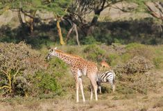 Живая природа Африки, жираф младенца в саванне Стоковые Фото