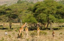 Живая природа Африки, семья jiraffe в саванне Стоковая Фотография