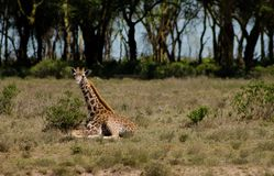 Живая природа Африки, jiraffe в саванне Стоковая Фотография RF