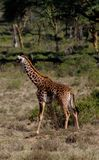 Живая природа Африки, jiraffe в саванне Стоковая Фотография