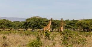 Живая природа Африки, jiraffe в саванне Стоковые Изображения