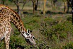 Живая природа Африки, jiraffe в саванне Стоковое Фото