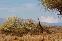Живая природа Африки, jiraffe в саванне Стоковые Изображения RF