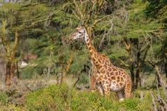 Живая природа Африки, jiraffe в саванне Стоковые Фотографии RF