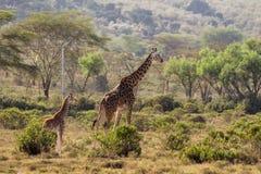 Живая природа Африки, jiraffe с младенцем в саванне Стоковая Фотография RF