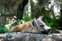 Живая природа гиены в зоопарке Стоковое Изображение RF