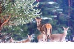 Живая природа зимы Группа в составе благородное elaphus Cervus оленей в лесе зимы смотря камеру Среда обитания природы Стоковые Фотографии RF