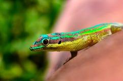 ЖИВАЯ ПРИРОДА ОТ МАВРИКИЯ - зеленых гекконовых Стоковая Фотография RF