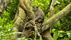 ЖИВАЯ ПРИРОДА ОТ МАВРИКИЯ - одичалой обезьяны макаки Стоковые Фото