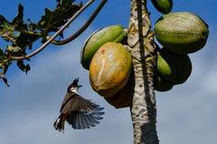 ЖИВАЯ ПРИРОДА ОТ МАВРИКИЯ - птицы Орфея Bulbul Стоковое Изображение