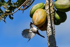 ЖИВАЯ ПРИРОДА ОТ МАВРИКИЯ - птицы Орфея Bulbul Стоковые Изображения RF