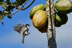 ЖИВАЯ ПРИРОДА ОТ МАВРИКИЯ - птицы Орфея Bulbul Стоковая Фотография