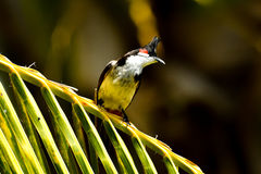 ЖИВАЯ ПРИРОДА ОТ МАВРИКИЯ - птицы Орфея Bulbul Стоковое фото RF