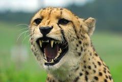 живая природа парка гепарда Стоковые Фото