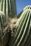 живая природа пустыни Аризоны Стоковые Изображения RF