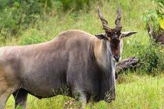 Живая природа самеца оленя Eland Bull Стоковая Фотография RF