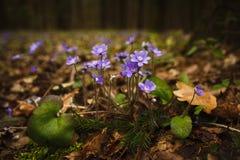 Живая природа, травы леса в предыдущей весне стоковые фотографии rf