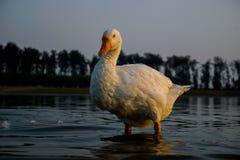 Живая природа, фотография утки, утка в море стоковые изображения rf