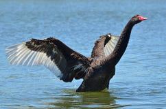 живая природа черного лебедя животных стоковые фото