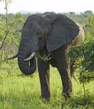 живая природа африканского слона стоковая фотография rf