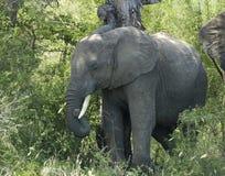 живая природа африканского слона стоковое изображение rf