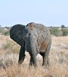 живая природа африканского слона стоковое изображение