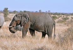 живая природа африканского слона стоковые изображения