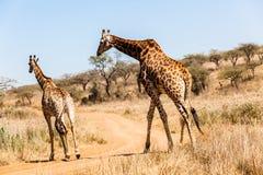 Живая природа брачного периода Bull жирафа женская Стоковое фото RF