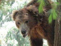 Живая природа - бурый медведь Стоковое Изображение