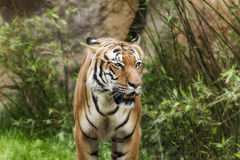 живая природа Великобритании тигра портрета kent наследия учредительства Стоковое Изображение RF