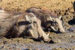 Живая природа водопоя грязи Warthogs Стоковые Фотографии RF