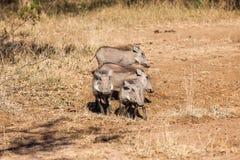 Живая природа водопоя Warthogs Calfs Стоковое Изображение