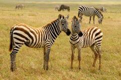 Живая природа в Африке, зебрах Стоковая Фотография