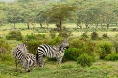 Живая природа в Африке Стоковое фото RF