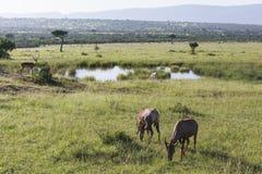 Живая природа в парке Maasai Mara в Кении Стоковые Фотографии RF