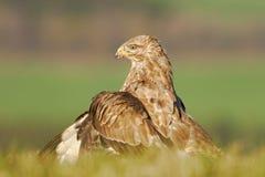 Живая природа в Польше Охотник в траве Птицы молят общий канюка, канюка канюка, сидя в траве с запачканным зеленым лесом Стоковые Фото